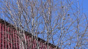 Sparrows sit on the branches of a tree against the blue sky and fly away,. Spring landscape stock footage