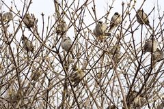 Sparrows sit in thickets of bushes Stock Photography