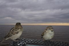 Sparrows sitting on a bench at the beach Royalty Free Stock Photography