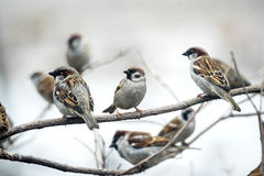Sparrows sitting on branches Royalty Free Stock Image