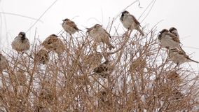 Sparrows sitting on the branches of the shrub. Winter day in the city Park.  stock footage