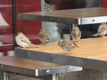 Sparrows are sitting on empty black tables in a street cafe royalty free stock images