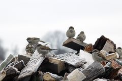 Sparrows sitting on the fire woods with hoarfrost Royalty Free Stock Images