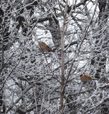 Sparrows sitting on frozen branch Stock Photos