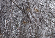 Sparrows sitting at the frozen branch Royalty Free Stock Photo