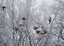 Sparrows sitting at frozen branch Stock Photos