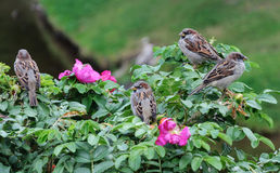 Sparrows sitting on a green bush Royalty Free Stock Photos