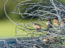Sparrows sitting inside twisted mesh fence Stock Photos