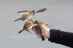 Sparrows sitting on a male hand Stock Photo