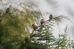 Sparrows. Stock Photography