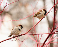 Sparrows sitting on a tree.  Stock Photography