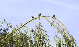 Sparrows sitting on a tree branch Stock Photos