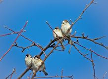 Sparrows sitting on a tree royalty free stock photography