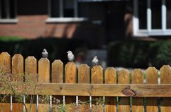 Sparrows sitting on a wooden fence. royalty free stock photos