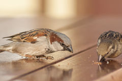 Sparrows sitting on a wooden table, near the cafe, and pecking a. T crumbs on the table royalty free stock image