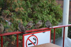 Sparrows on a smoke break Royalty Free Stock Photography