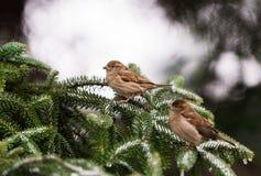 Sparrows on a snow tree branch Stock Photos