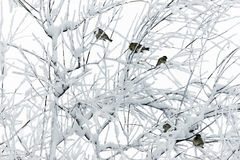 Sparrows on snowy branches. Stock Photo