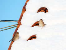Sparrows on a snowy rooftop. A pair of sparrows on a red rooftop covered in white snow Royalty Free Stock Photos