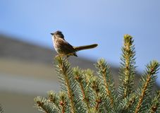 The sparrows song Royalty Free Stock Photography