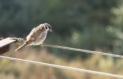 Sparrows. The sparrow sits on a green background stock images