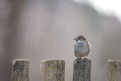 Sparrows Royalty Free Stock Photos