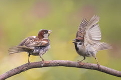 Sparrows in the spring in the Park Royalty Free Stock Photos