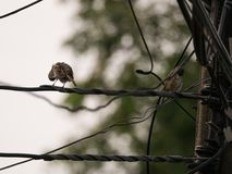 Sparrows Standing Preen Frather on The Wires Royalty Free Stock Image