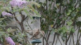 Sparrows still squabling at bird feeder. stock video footage