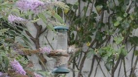 Sparrows still squabling at bird feeder. stock video