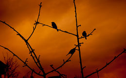 Sparrows on sunset Royalty Free Stock Image