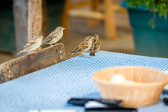 Sparrows on the table in outdoor restaurant Royalty Free Stock Photo
