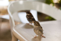 Sparrows on the table Stock Photography