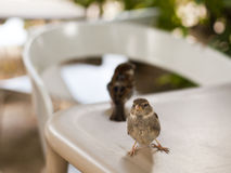 Sparrows on the table Stock Photos