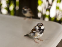 Sparrows on the table Royalty Free Stock Image