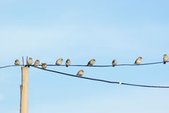 Sparrows on telephone wires Royalty Free Stock Images