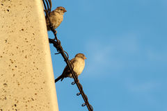 Sparrows on telephone wires Stock Image
