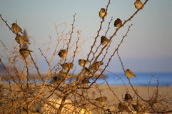 Sparrows on thorny twigs Royalty Free Stock Images