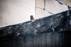 sparrows tre Arkivbilder
