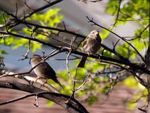 Sparrows in a Tree. Two sparrows sitting in a tree Stock Images