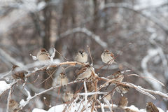 Sparrows on the tree royalty free stock image