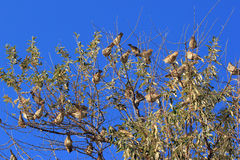 Sparrows on tree branches against the bright blue spring sky Stock Photos