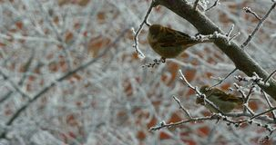 Sparrows In The Tree In Winter. Sparrows standing on the branches and flying stock footage