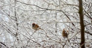 Sparrows In The Tree In Winter. Sparrows standing on the branches and flying stock video footage