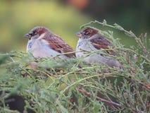sparrows två Royaltyfri Foto