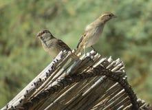 sparrows två Royaltyfria Bilder