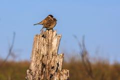 sparrows två Royaltyfri Fotografi