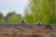 sparrows två Royaltyfri Bild