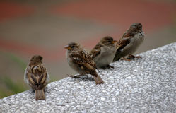 Sparrows on the wall Royalty Free Stock Image