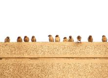 Sparrows on a Wall Royalty Free Stock Image
